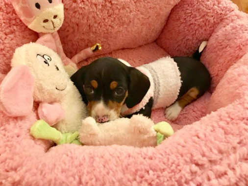 Dixie the Dachshund Puppy
